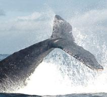 Ballenas en Ladrilleros 3 días